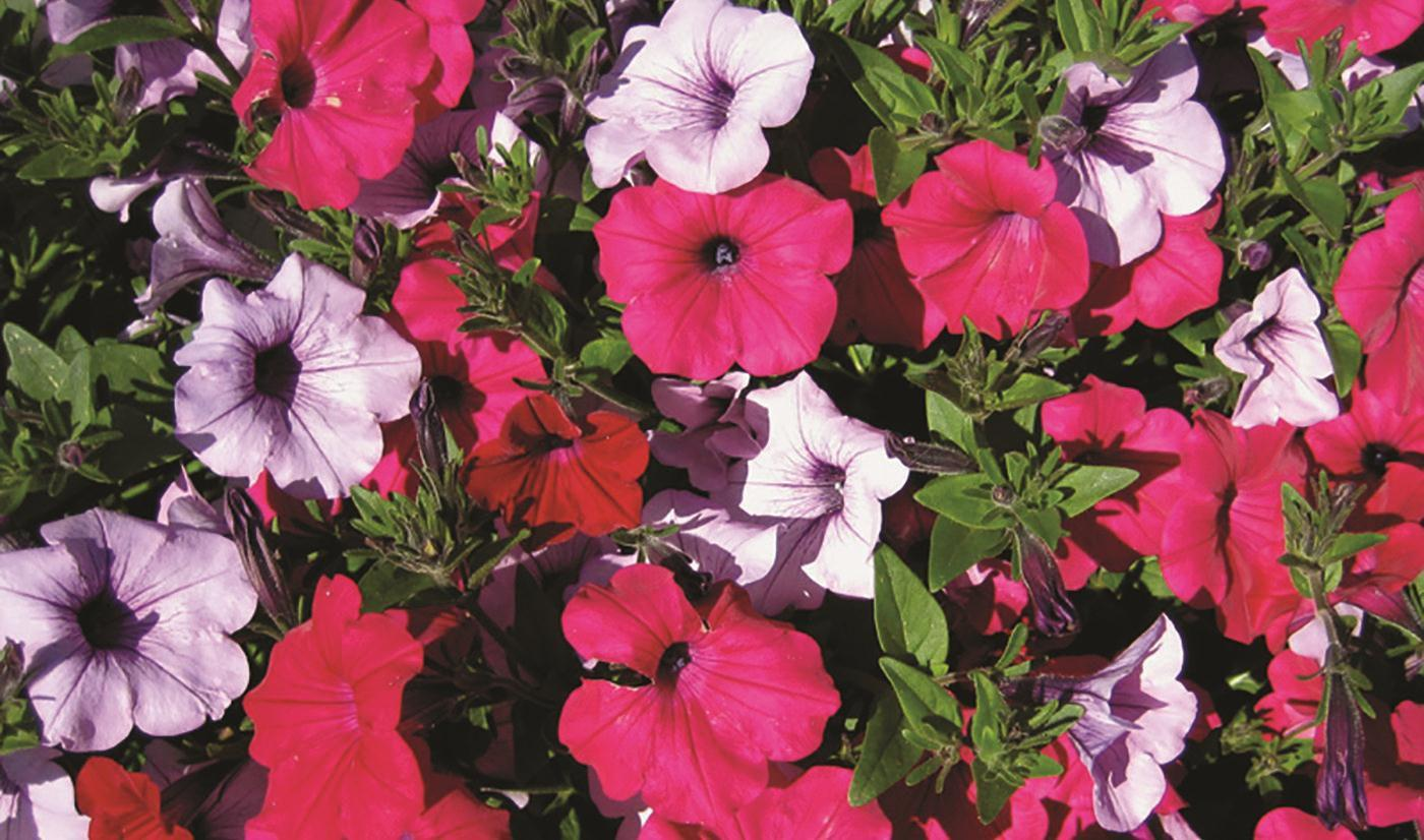 Tidal Wave Petunias Are Colorful And Tough Texas Superstar Plants