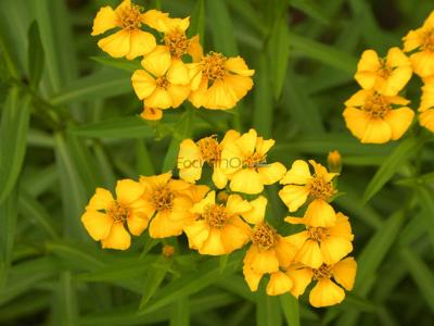 Mexican mint marigold known for beauty, flavor