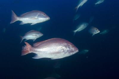 States offer plan to extend Gulf red snapper season