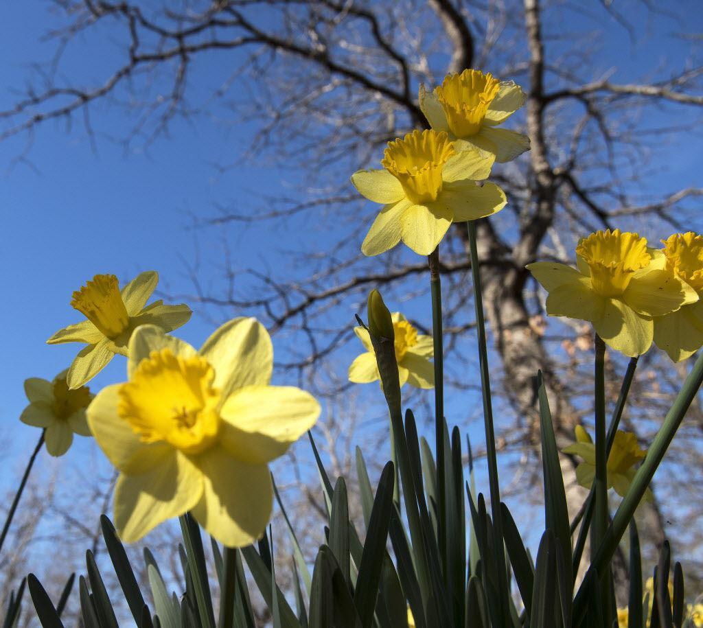 022217_Lee_Daffodils_07.jpg