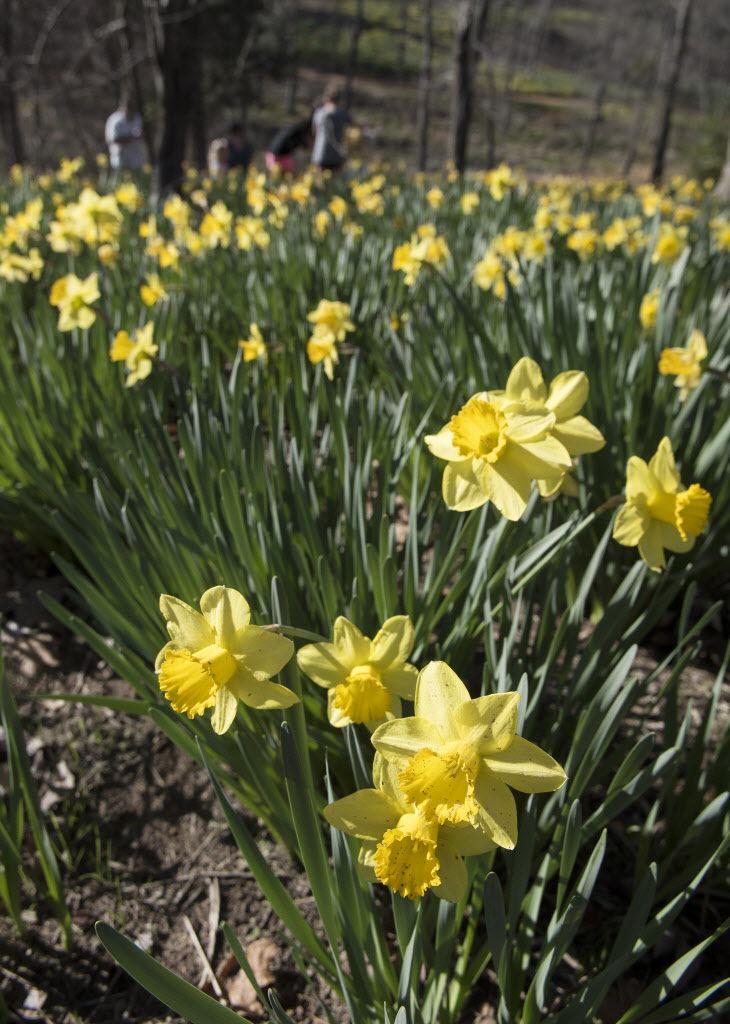 022217_Lee_Daffodils_08.jpg