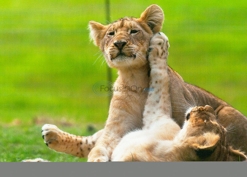 The Lion Pride: Caldwell Zoo cubs are developing distinct personalities