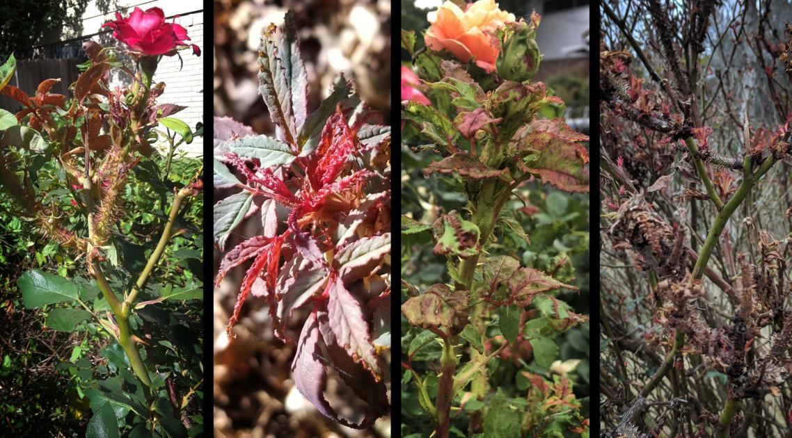 Texas A&M AgriLife researchers gain ground in rose rosette battle