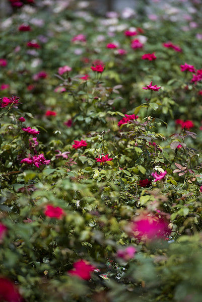 Grower Mark Chamblee, longtime advocate for Tyler's rose industry, set to retire