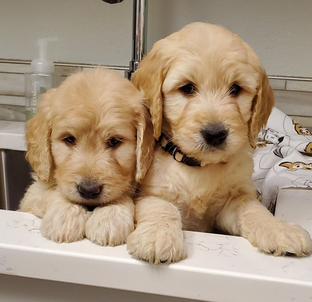 Goldendoodle Puppies! image 1