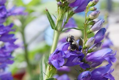 Frenchtown pollinator