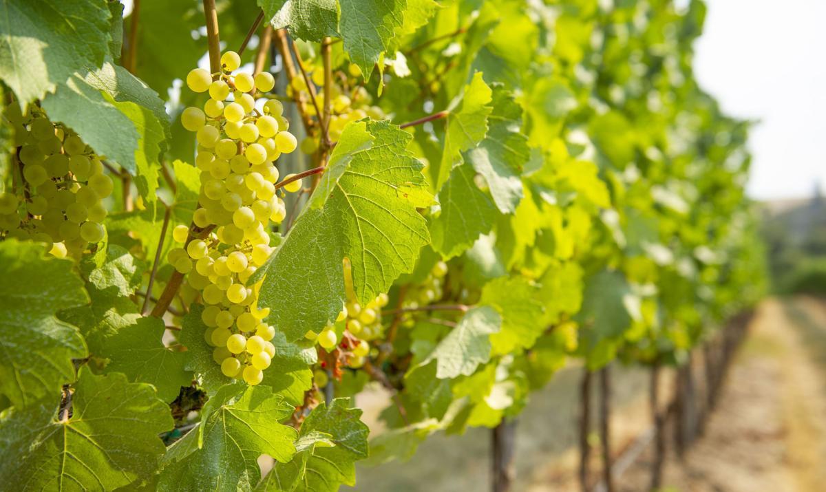 Chardonnay, on the vine