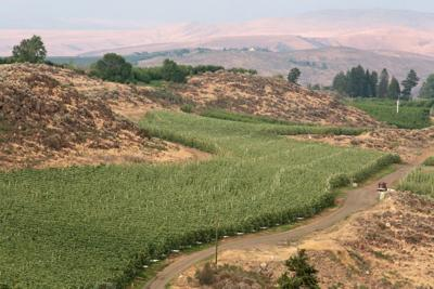 Vineyards west of downtown Yakima