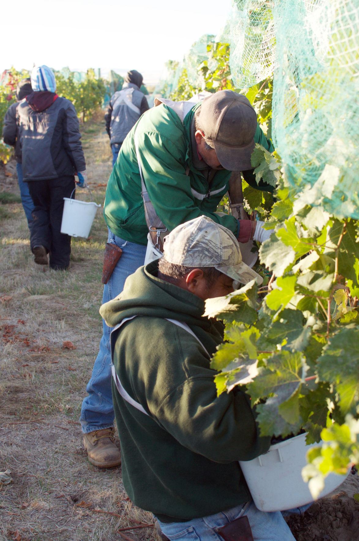 Picking grapes at Bella Fortuna
