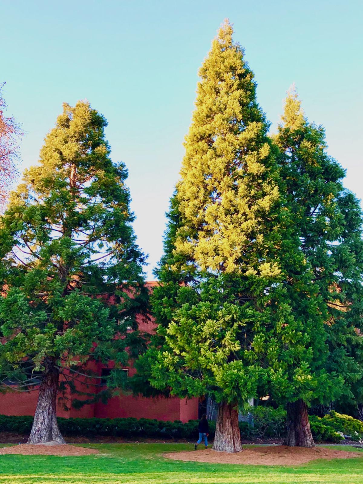 Whitman trees 2 - Kate.jpg