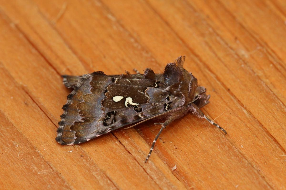 Come learn about moths with David Droppers of the Washington Butterfly Association.