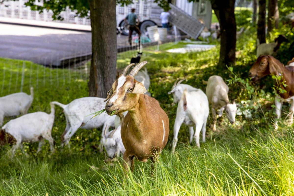 Goats on Campus