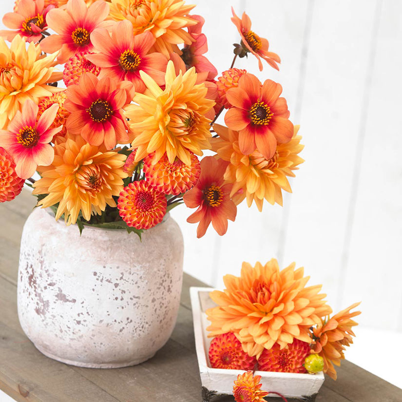 Add Some Garden Pizzazz With Easy Care Dahlias Growing Among