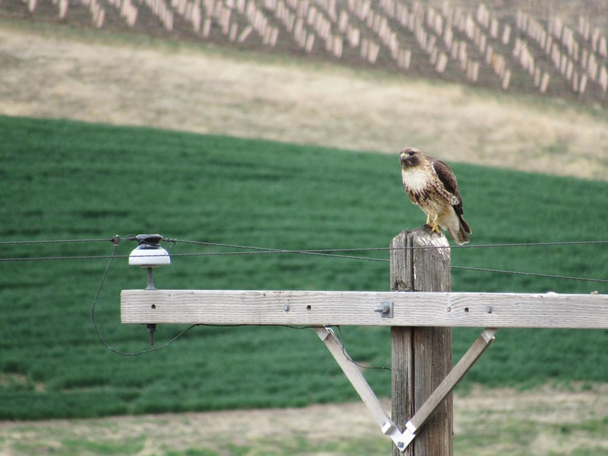 hawk and vineyards.JPG