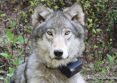 181011 BMLT Gray_Wolf The Spokesman-Review.jpg