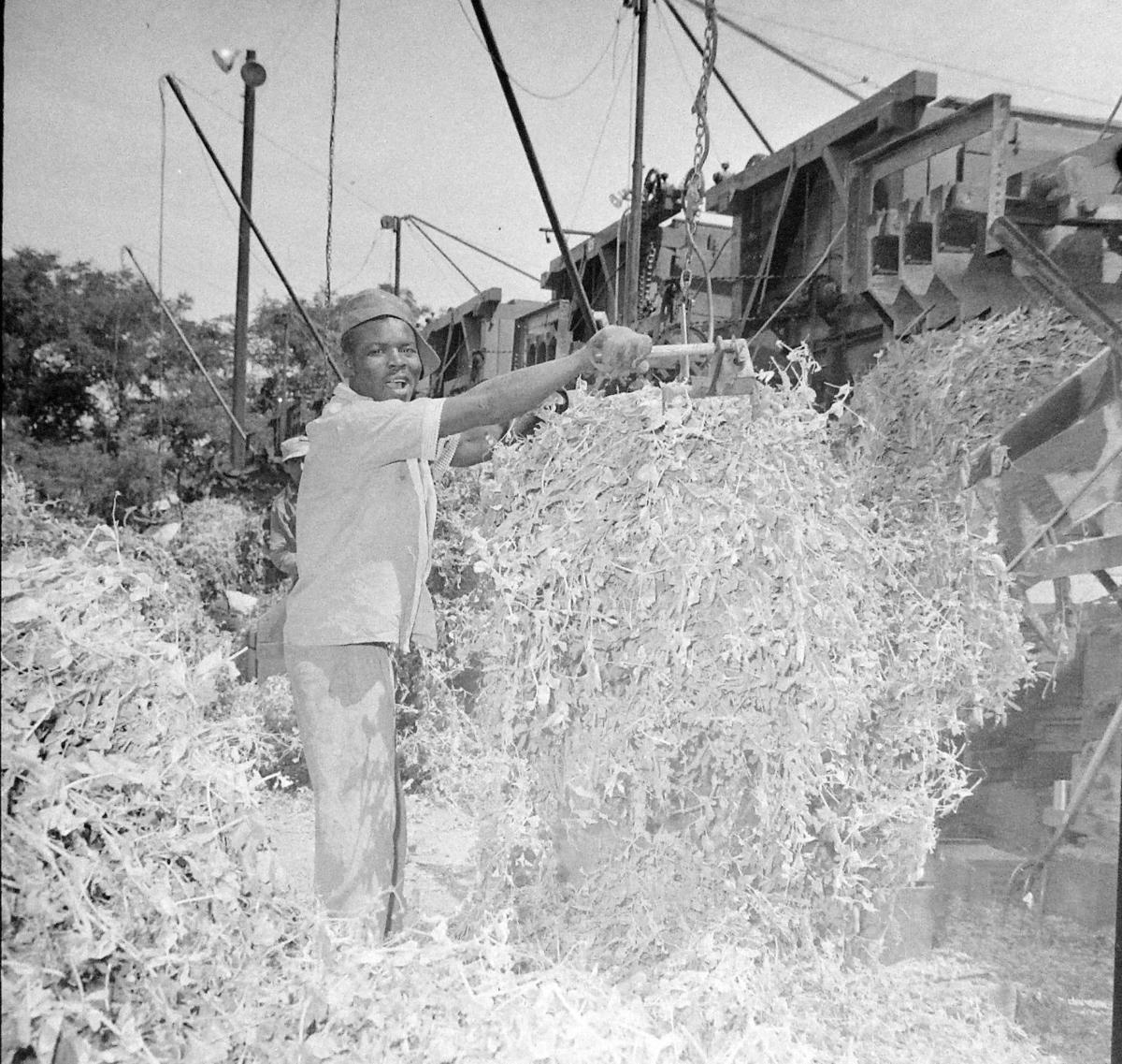 Smith Frozen Foods pea harvest processing, Jul 2 1957 (2).jpg