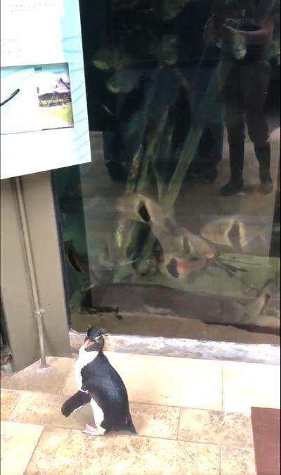 Shedd Aquarium's rockhopper penguins