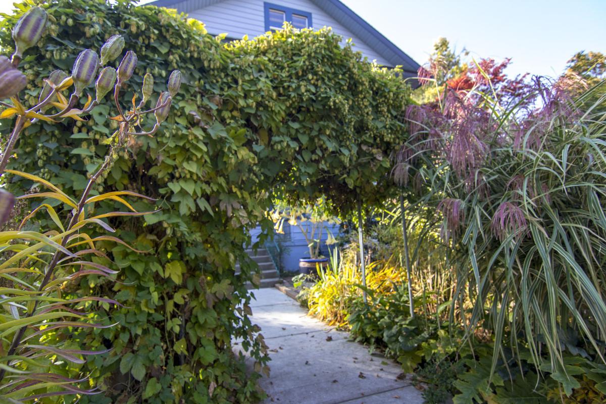 Williams-Culhane Garden: hops arbor