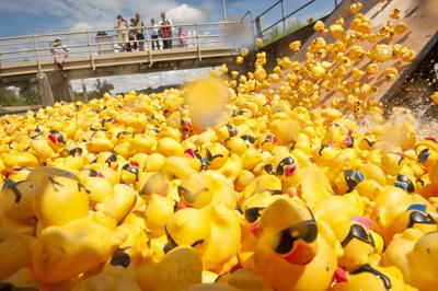 Oodles of ducks take to Mill Creek