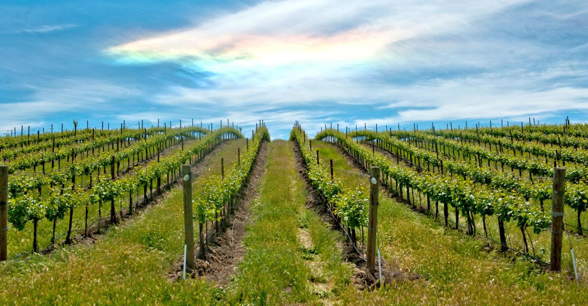 Vineyard, with special effects courtesy of the weather