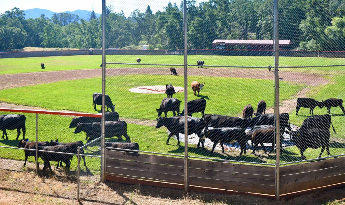 Cattle grazes on Summerville Baseball field.