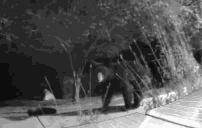 Sonora bear