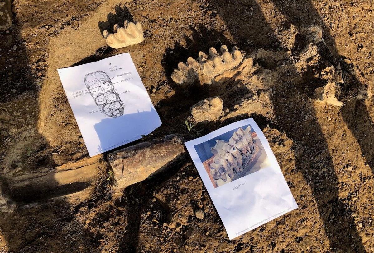 Mastodon skull