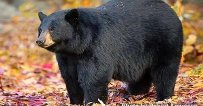 Bear hunting season