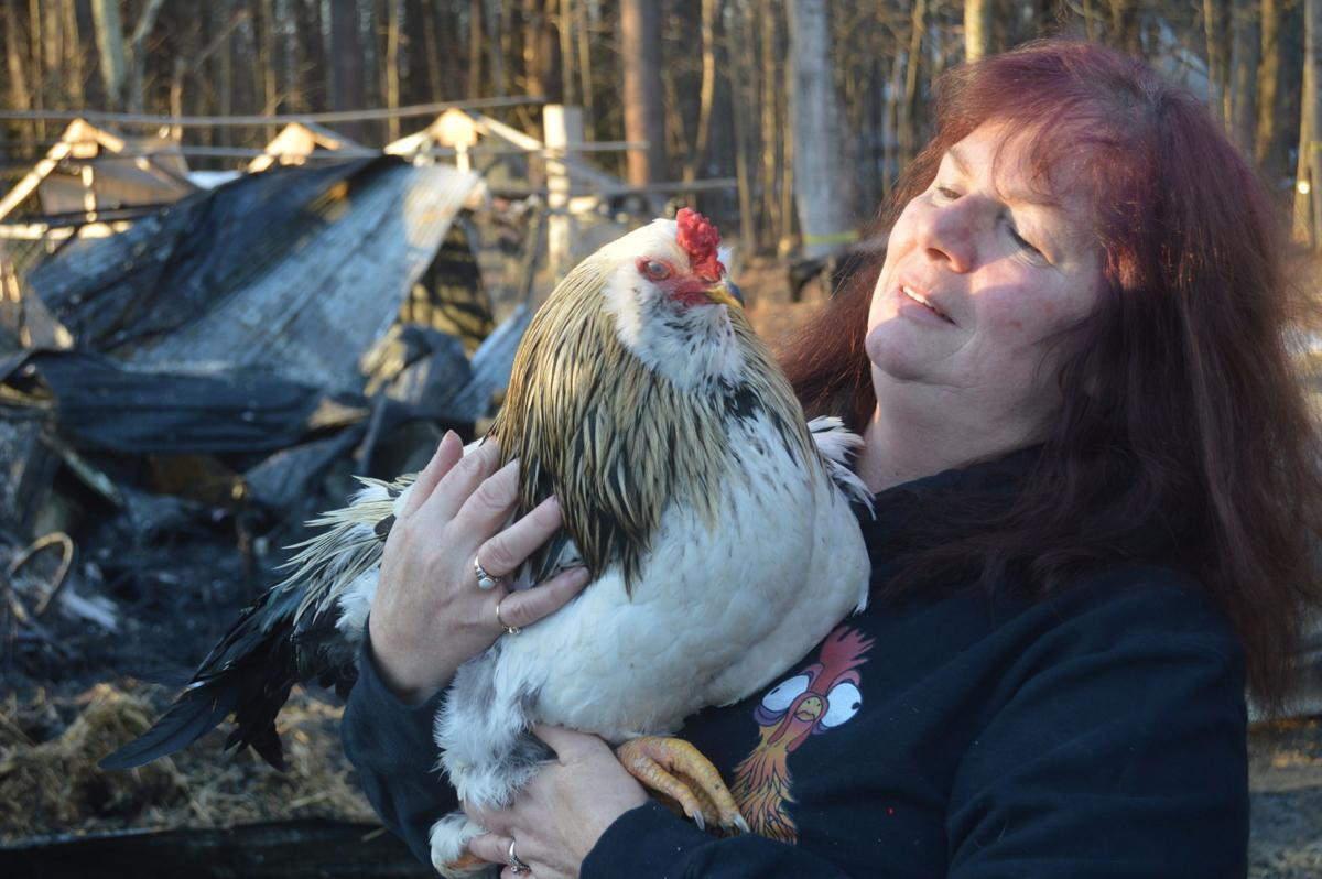 'Miracle' rooster