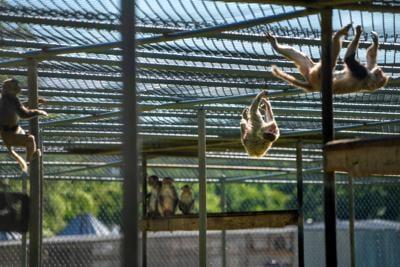 Tulane's primate research center pivots to coronavirus