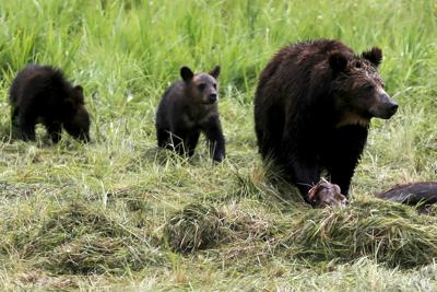 A grizzly bear and her two cubs