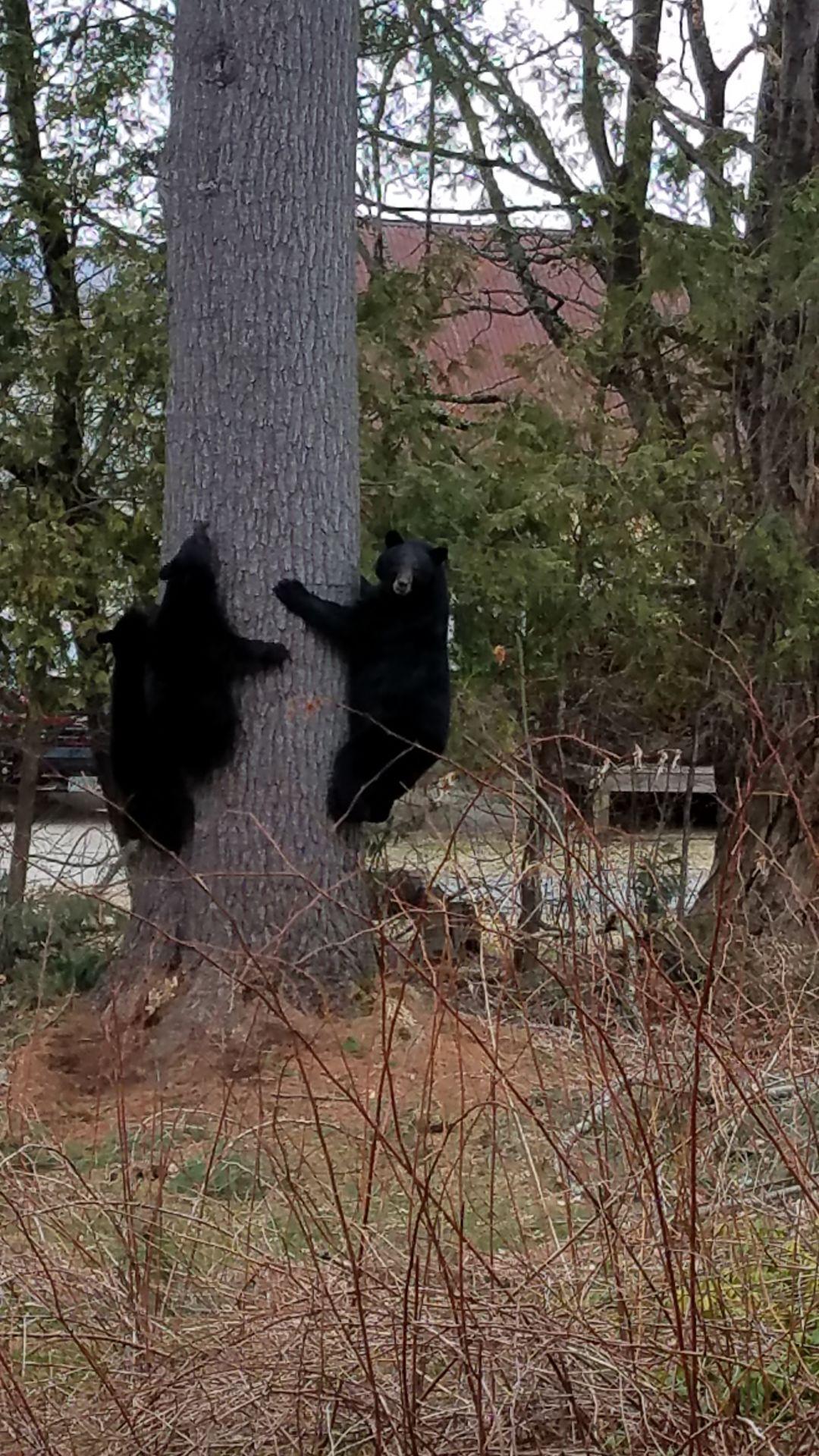 Black bear family in Lancaster