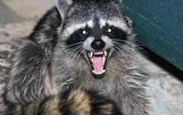 NH seeks Mass. man who handled rabid raccoon