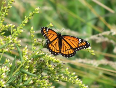 Monarchs in motion