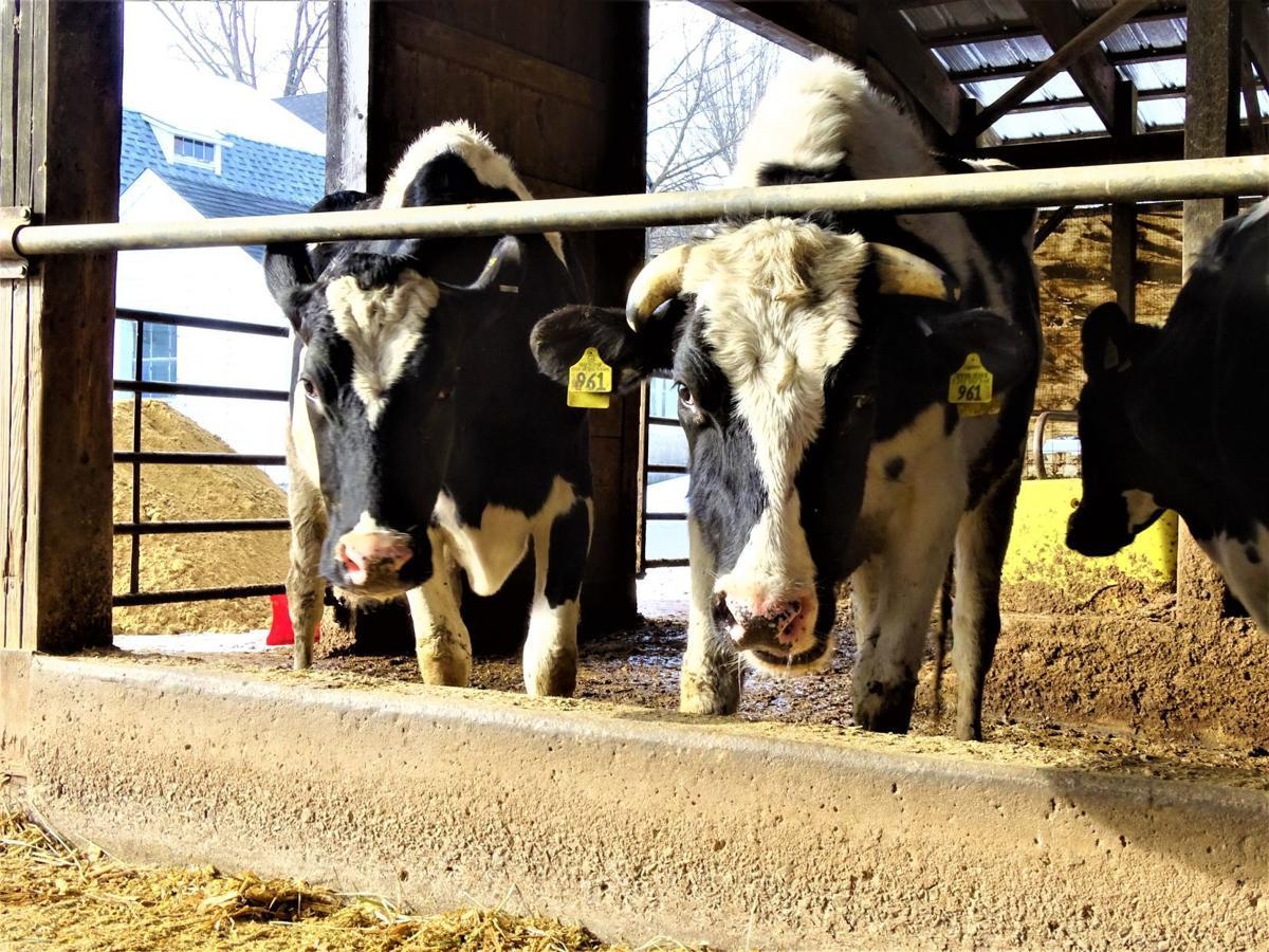 Yeaton cows