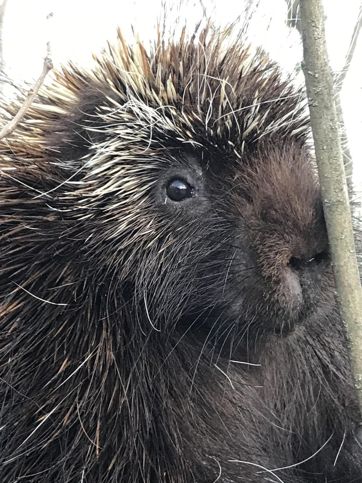 Porcupines: Scourge of the springtime willow tree