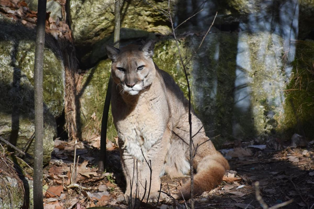 Mountain lion at Squam Lakes Science Center