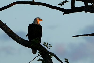 A bald eagle is pictured perched in a tree in Baddeck