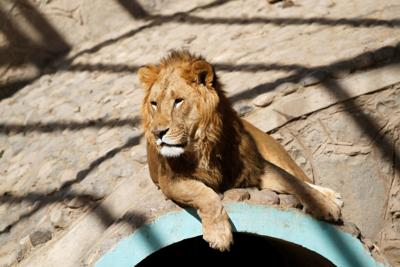 Lion that is a cub of Frans, a lion previously owned by Yemen's ex-president Saleh is pictured at the Sanaa Zoo