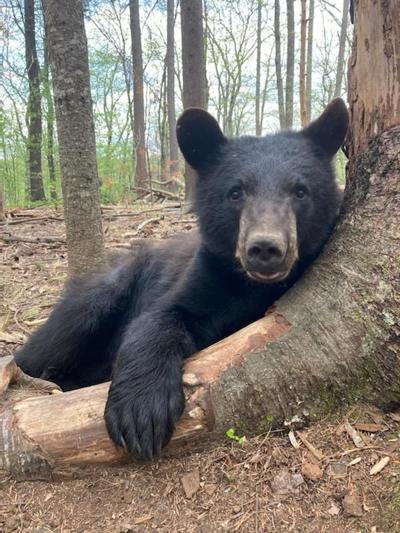 yearling bear