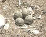 Piping plover eggs