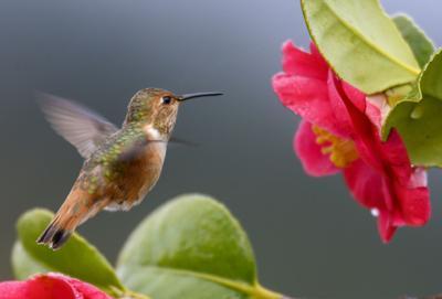 US-NEWS-SCI-HUMMINGBIRDS-COLORS-1-ZUM