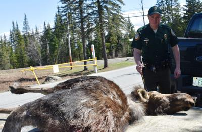 Fish and Game warns drivers to be aware moose are on the move