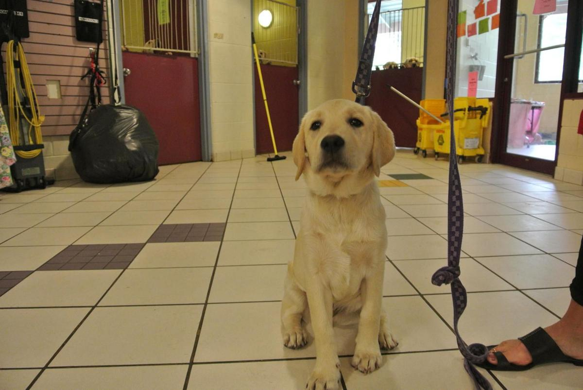 Owner of 52 Labradors found guilty