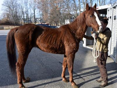 Emaciated horse with overgrown hooves rescued from barn