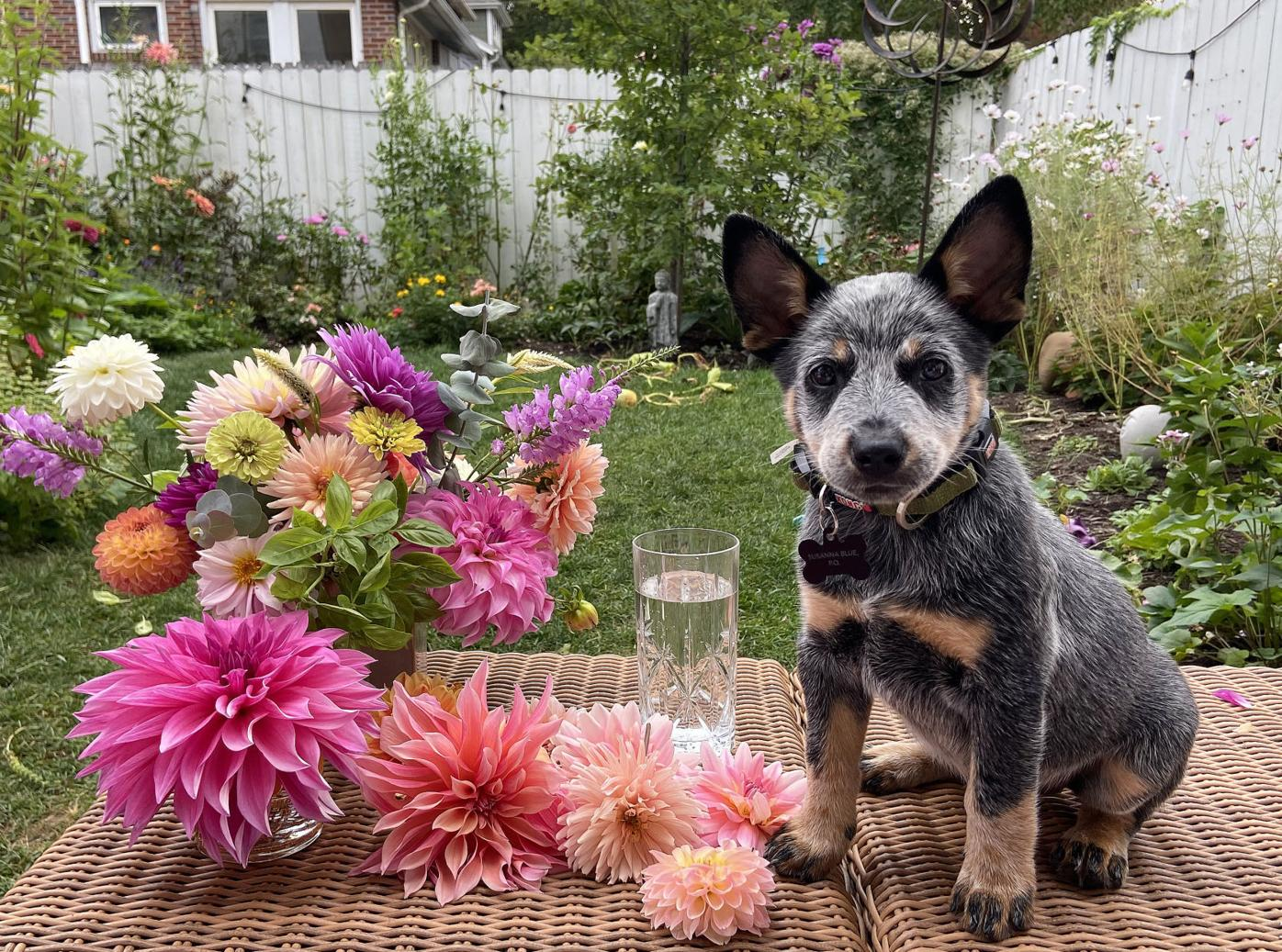 Suzy, the Australian cattle dog