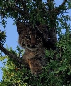 Young bobcat rescued after climbing on Stratham Burger King roof