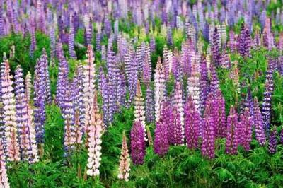 Lupine festival springs up in North Country