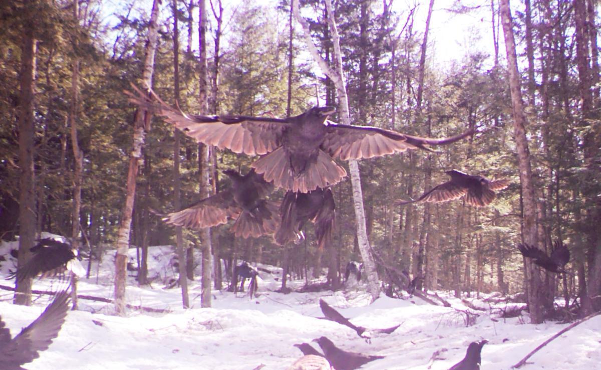 Crows inbound