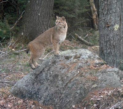 Keene State students cautioned about bobcat